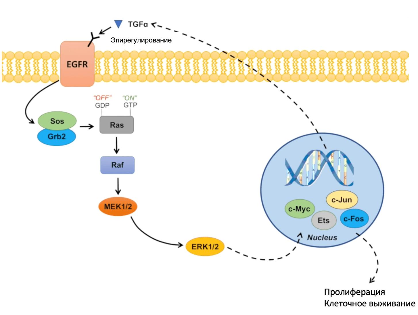 Участие сигнального пути RAS/RAF/MEK/MAPK в развитии рака легкого