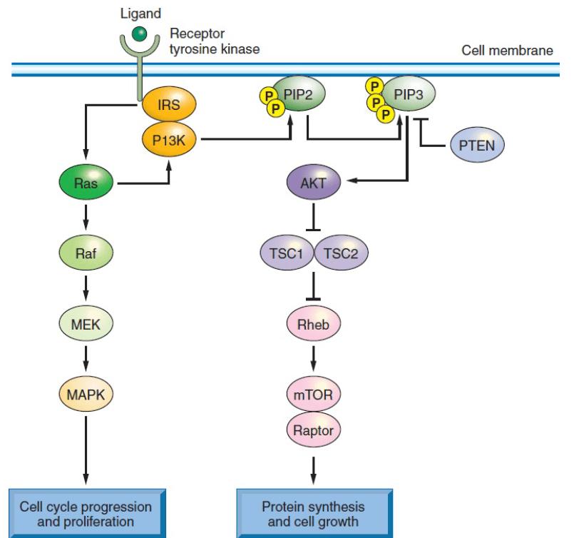Сигнальные пути, онкогенные мутации и возможные мишени для лечения КРР