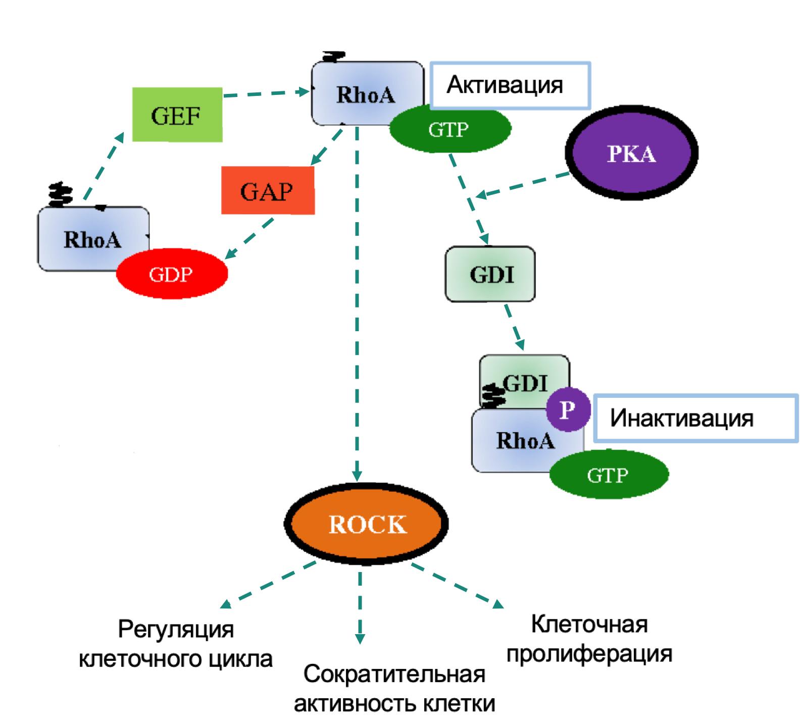 Участие RHOA в патогенезе злокачественных новообразований