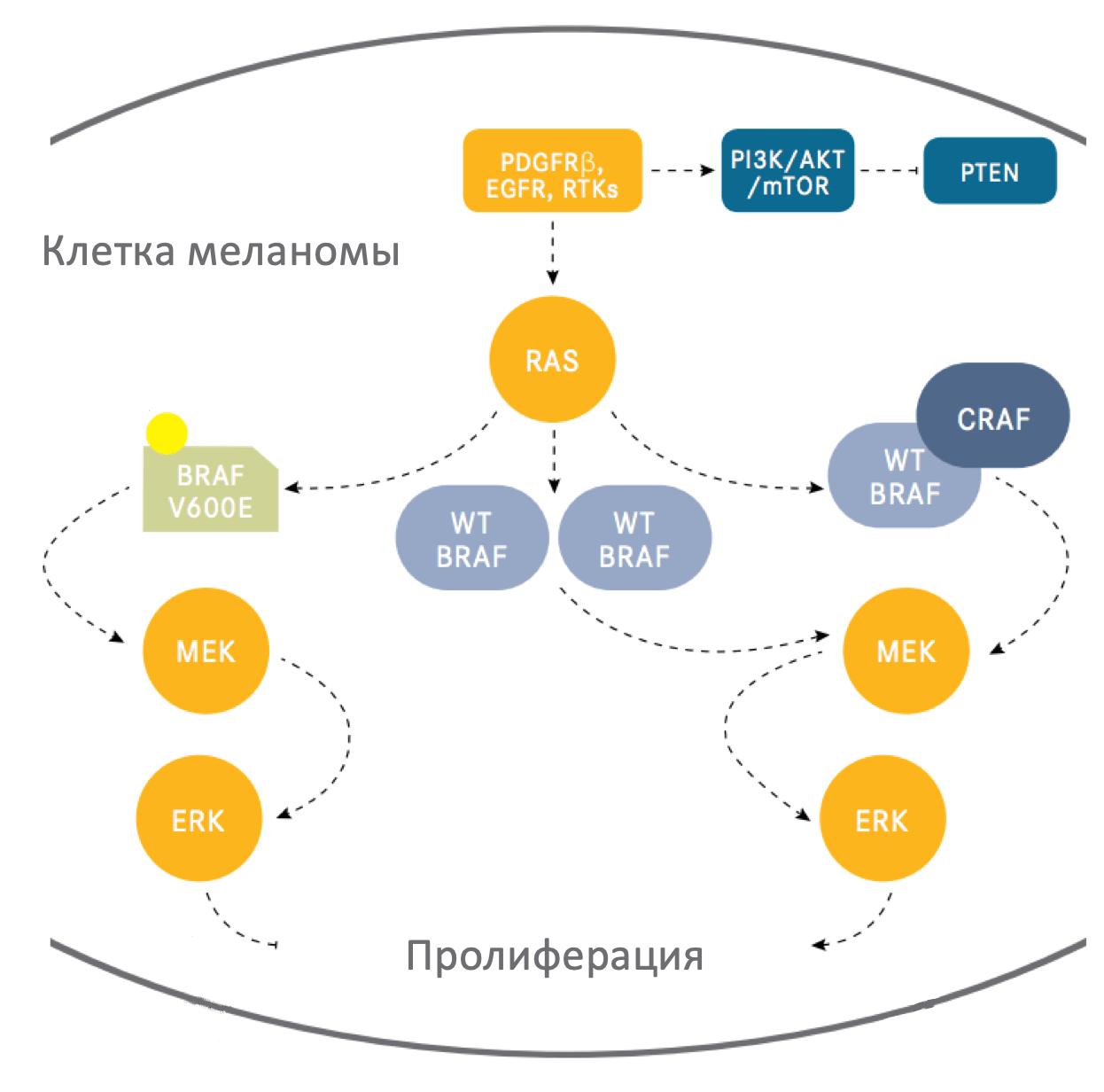 Влияние со стороны BRAF и MEK на жизнедеятельность клеток при меланоме