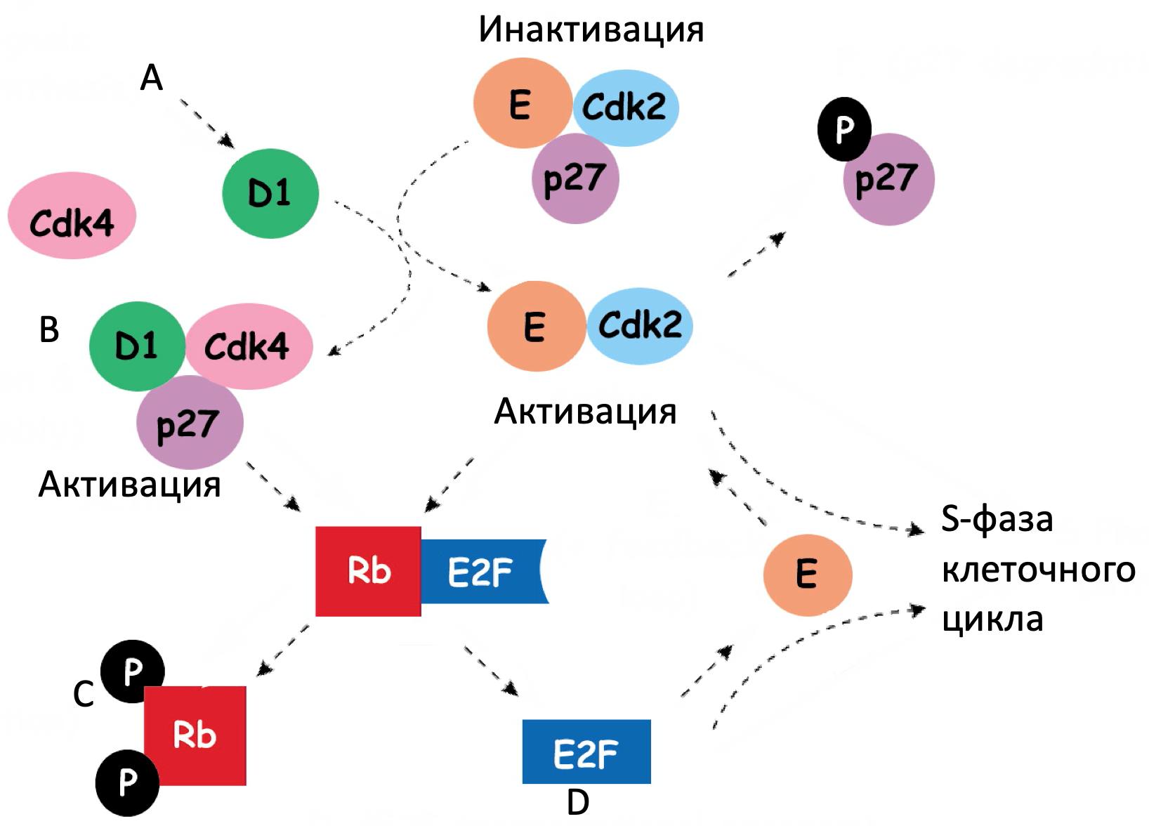 Каскад регуляции в G1 фазу клеточного цикла