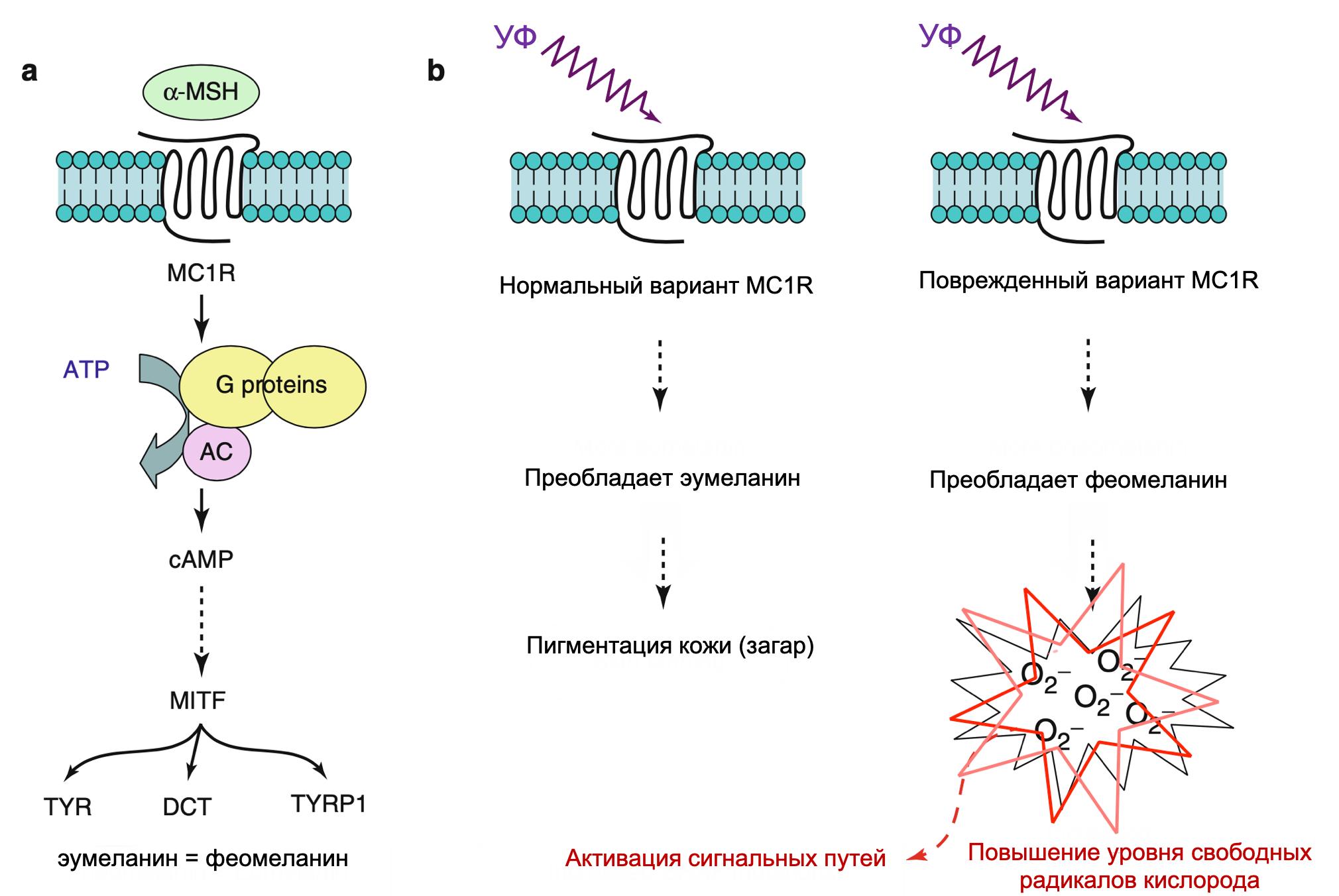 Роль MC1R в пигментации и патогенезе меланомы