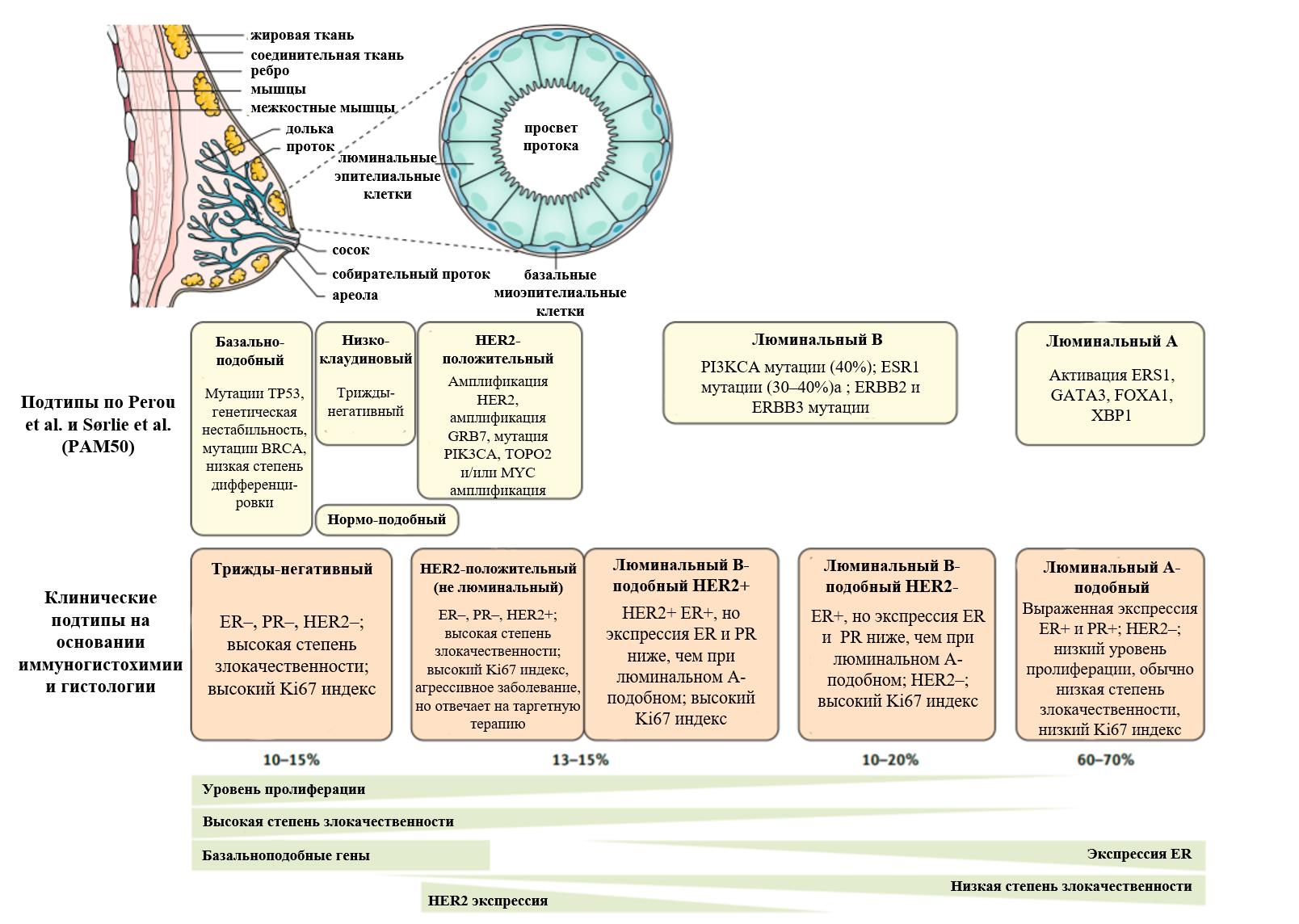Классификация рака молочной железы