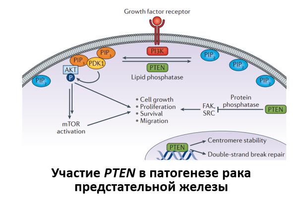 Участие PTEN в патогенезе рака предстательной железы