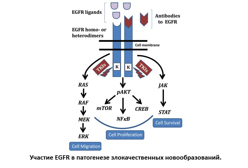 Участие EGFR в патогенезе злокачественных новообразований