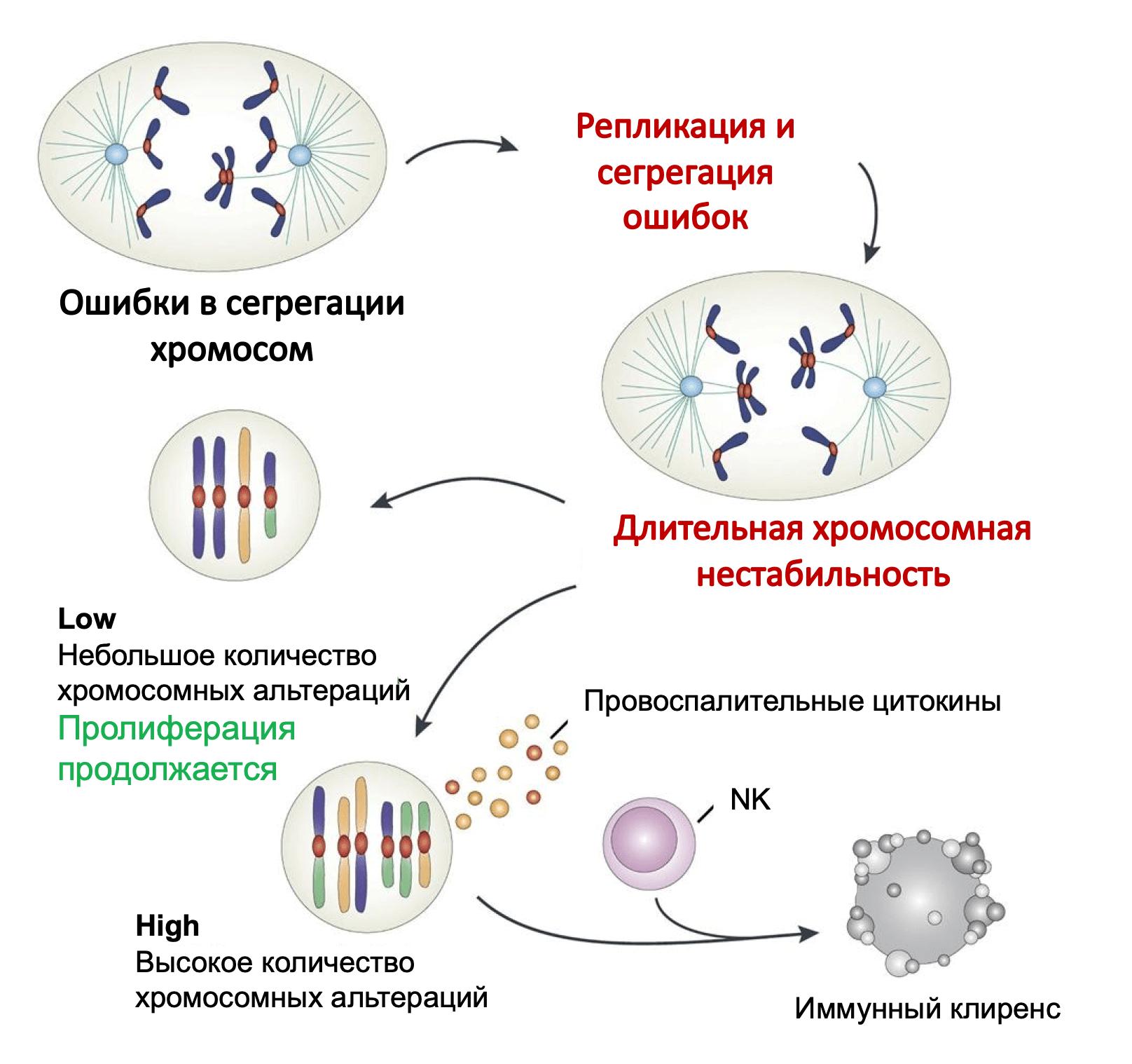 Развитие хромосомной нестабильности