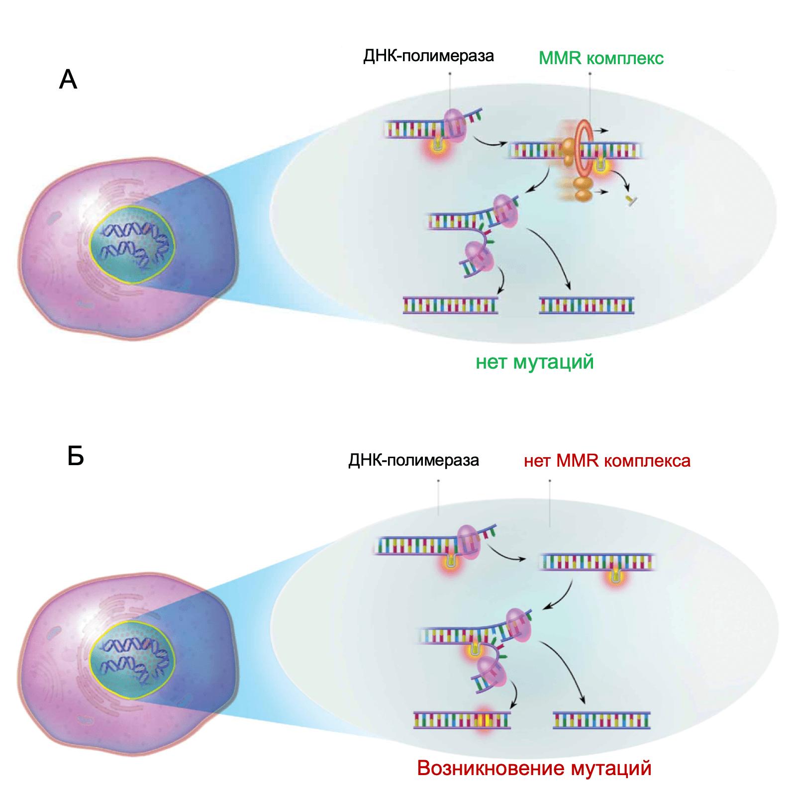 Успешная репарация ошибочно-спаренных нуклеотидов с участием MMR комплекса