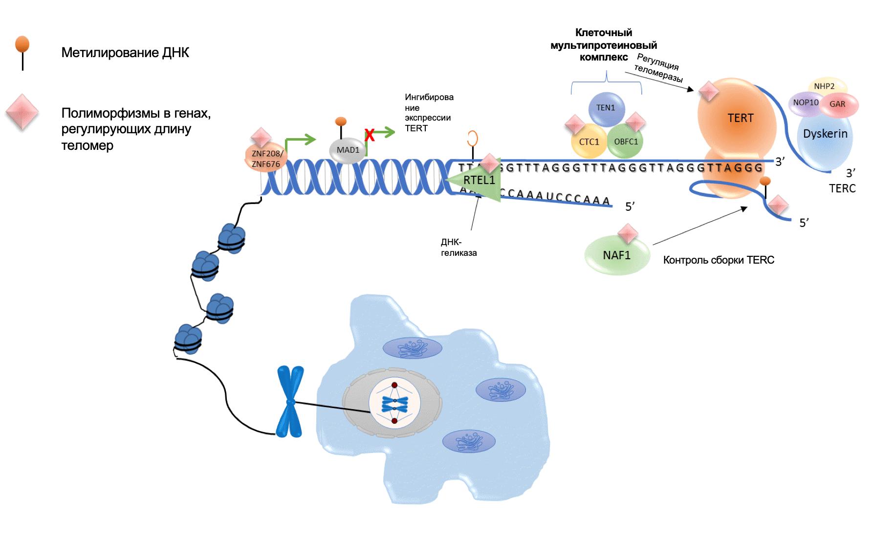 Молекулярные механизмы регуляции длины теломер