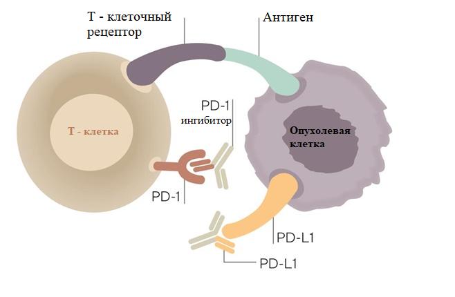 Мутации гена EGFR