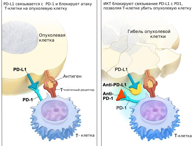 Рецептор PD1 и его лиганд PD-L1