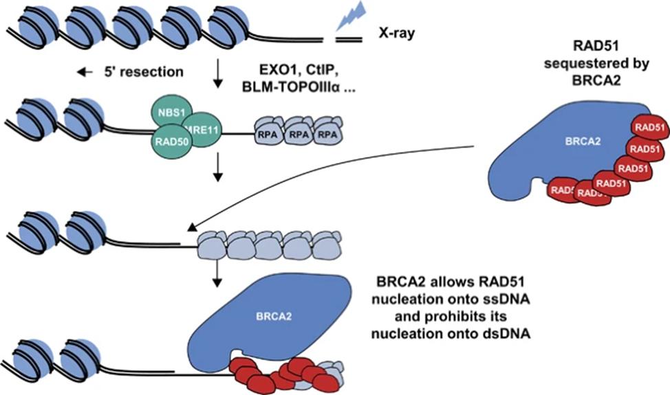 Роль BRCA2 в репарации двухцепочечных разрывов ДНК с помощью HRR